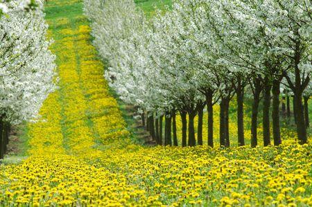 Spring in cherry garden. Germany