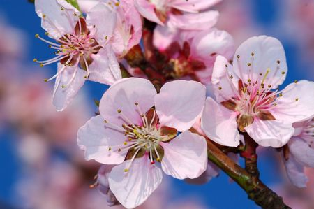 Almond-tree flowers Stock Photo - 418353
