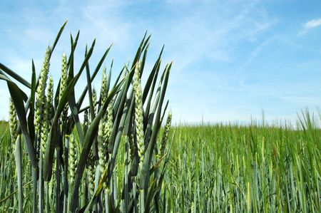 reaping: Green field of rye and blue sky