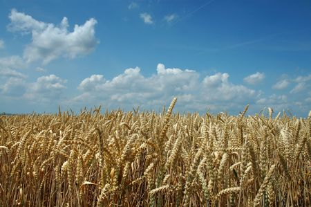 wheat fields: Field of rye and blue sky