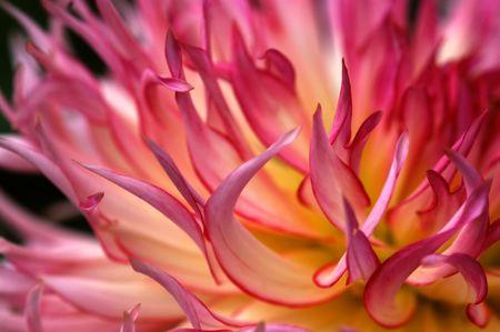 Close-up dahlia blossom