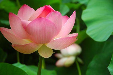 Lotus Stock Photo - 557911