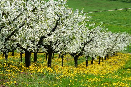 blossoming yellow flower tree: Blossoming cherry-trees Stock Photo