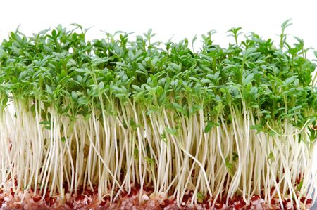 Fresh cress photo