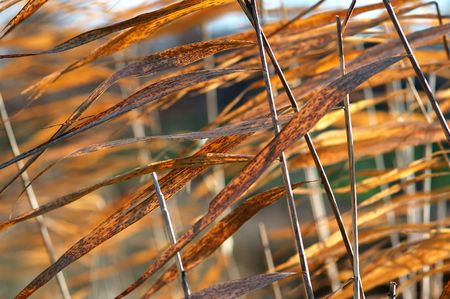 Dry grass reeds photo
