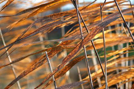 Dry grass reeds photo