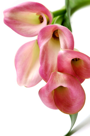 Pink callas bouquet
