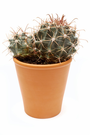 potted plant cactus: Potted cactus