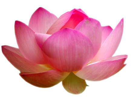 Lotus isolated Stock Photo - 1479101