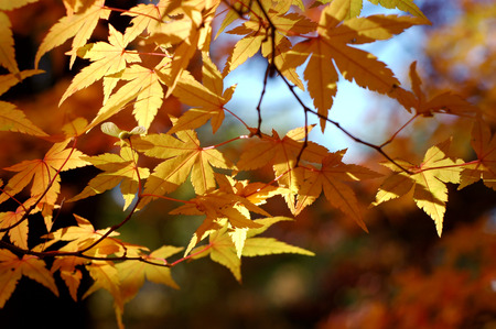 Japanese maple Stock Photo - 1483359