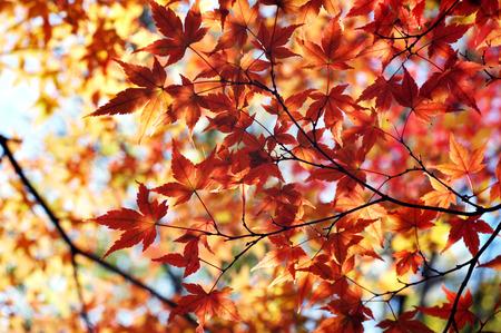 Japanese maple Stock Photo - 1483353