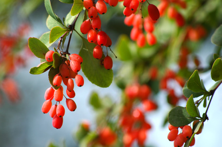 barberry: Barberry