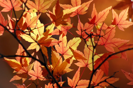 Maple leaves background Stock Photo - 1583268