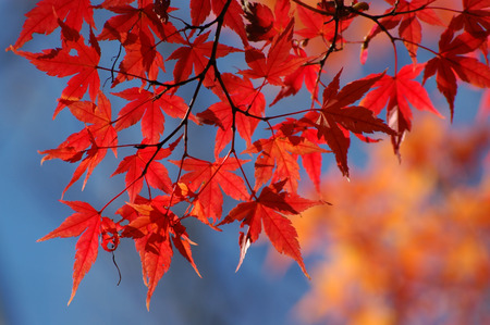 Red maple leaves Stock Photo - 1583263