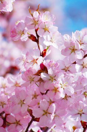fleur de cerisier: Printemps