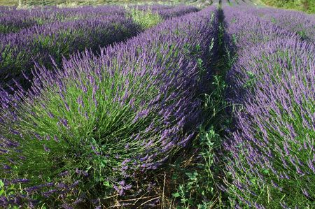Field of lavender. Provence, France Stock Photo - 2039054