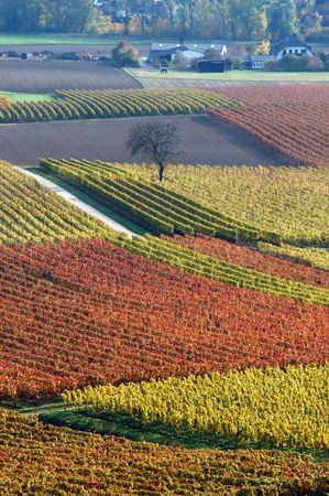 Autumn vineyard photo