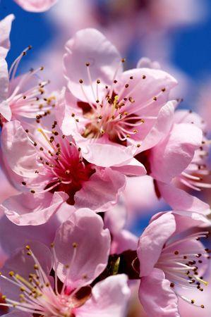 Almond tree blossom Stock Photo