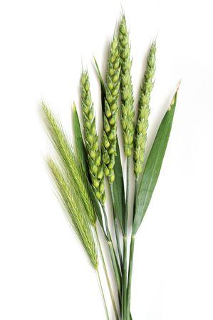 cultivo de trigo: Espigas de centeno