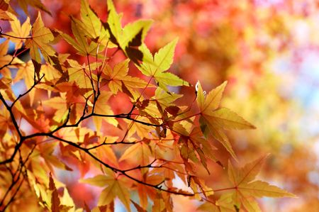 Japanese maple in autumn colors photo