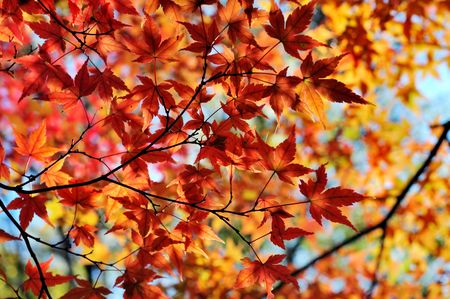 Japanese maple in autumn colors Stock Photo - 3582663