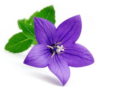 Bluebell flower Stock Photo