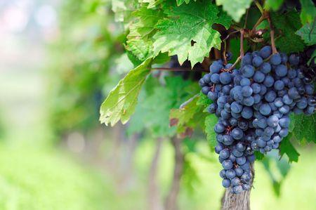 bluer: Vineyard. The Rhine valley, Germany Stock Photo
