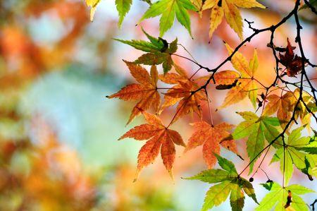 Japanese maple leaves Stock Photo - 3723069
