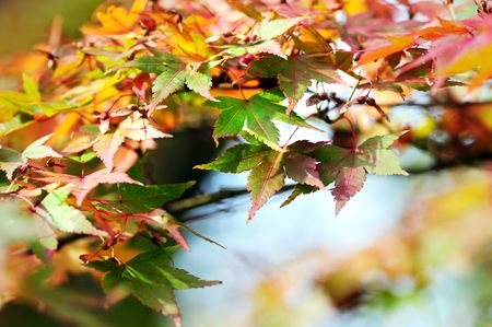 Japanese maple leaves Stock Photo - 3723077