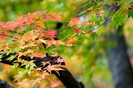 Maple leaves Stock Photo - 3723081