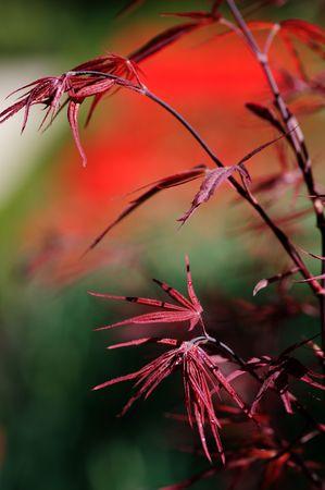 Japanese red maple background Stock Photo - 5667283