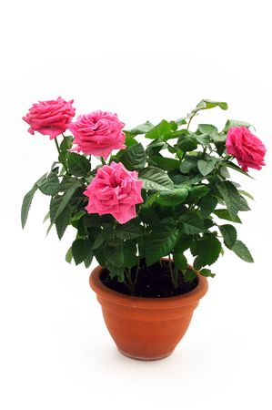 potted plant: Rose in ceramic pot