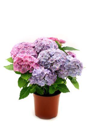Hydrangea in the pot Stock Photo