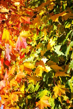 Maple leaves Stock Photo - 10554717