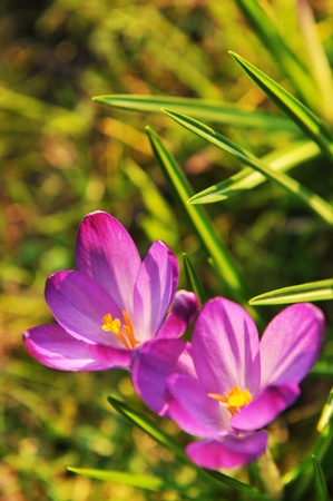 Crocus  Stock Photo - 10629526