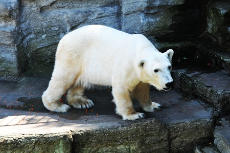 Polar bear at zoo Stock Photo - 10733121