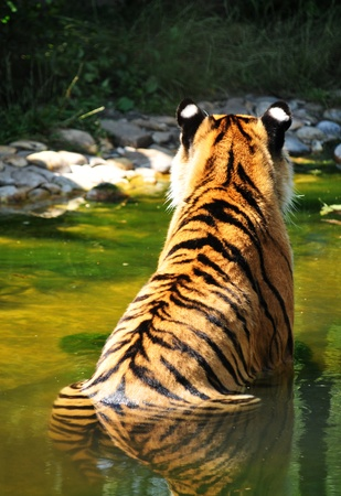 Back view of a tiger in water  Stock Photo - 10733134