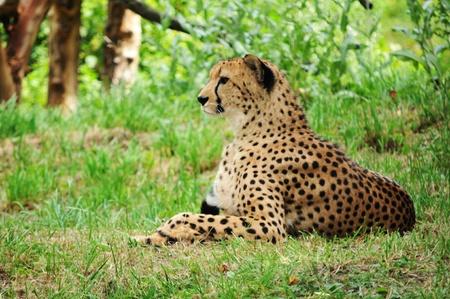 Cheetah  Stock Photo - 10733140