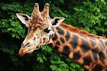 Giraffe head Stock Photo - 10733137