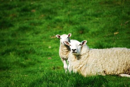 clonacion: Las ovejas y el cordero Foto de archivo