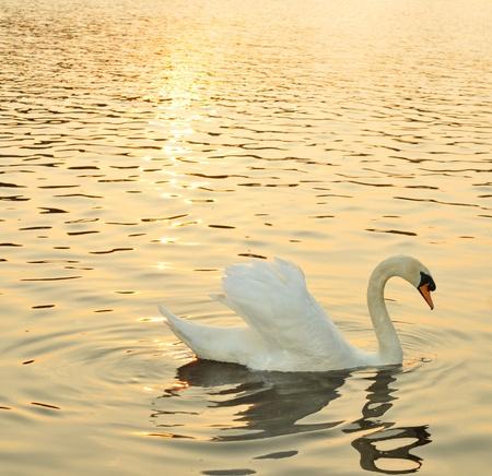cisnes: Cisne en el ocaso Foto de archivo