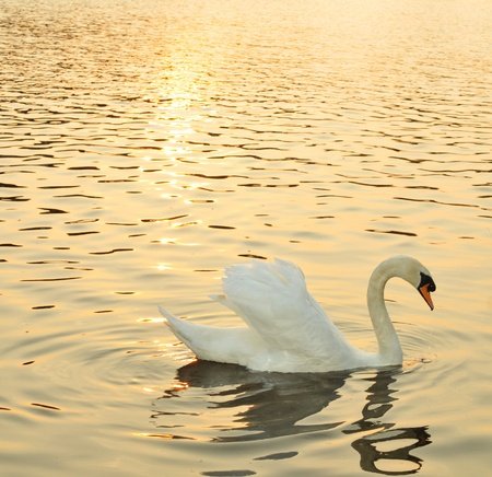 swan lake: Swan at sunset