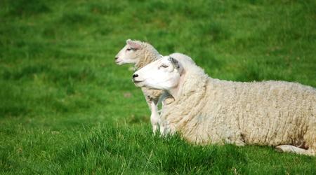 dolly: Sheep and lamb