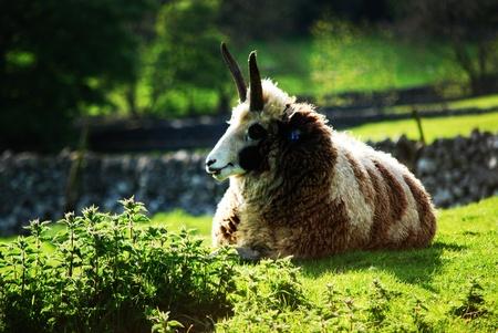 Sheep  Stock Photo - 10951127