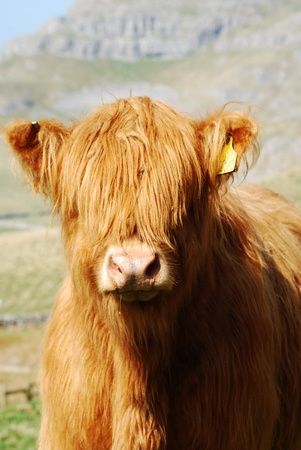 Yorkshire Dales: Cow portrait