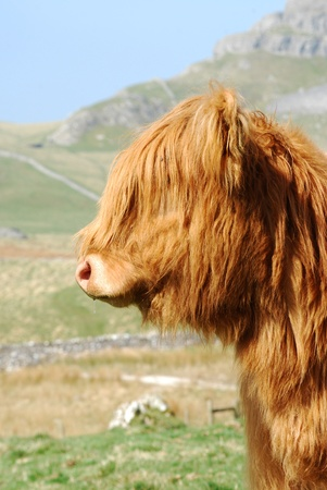 Yorkshire Dales: Cow