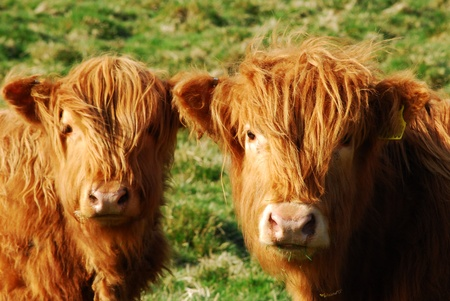 rare animals: Cows  Stock Photo