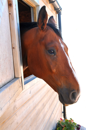 harnessing: Horse at the stables