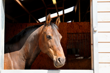 harnessing: Portrait of a horse in the stables