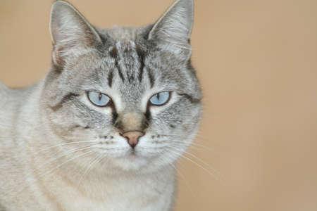 gato gris: Gray Cat